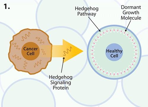 Cancer cells produce the hedgehog signalling protein