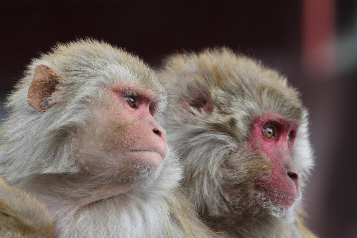In an new study, low-intensity ultrasound has been used to disrupt a cognitive process known as counterfactual thinking in macaques monkeys