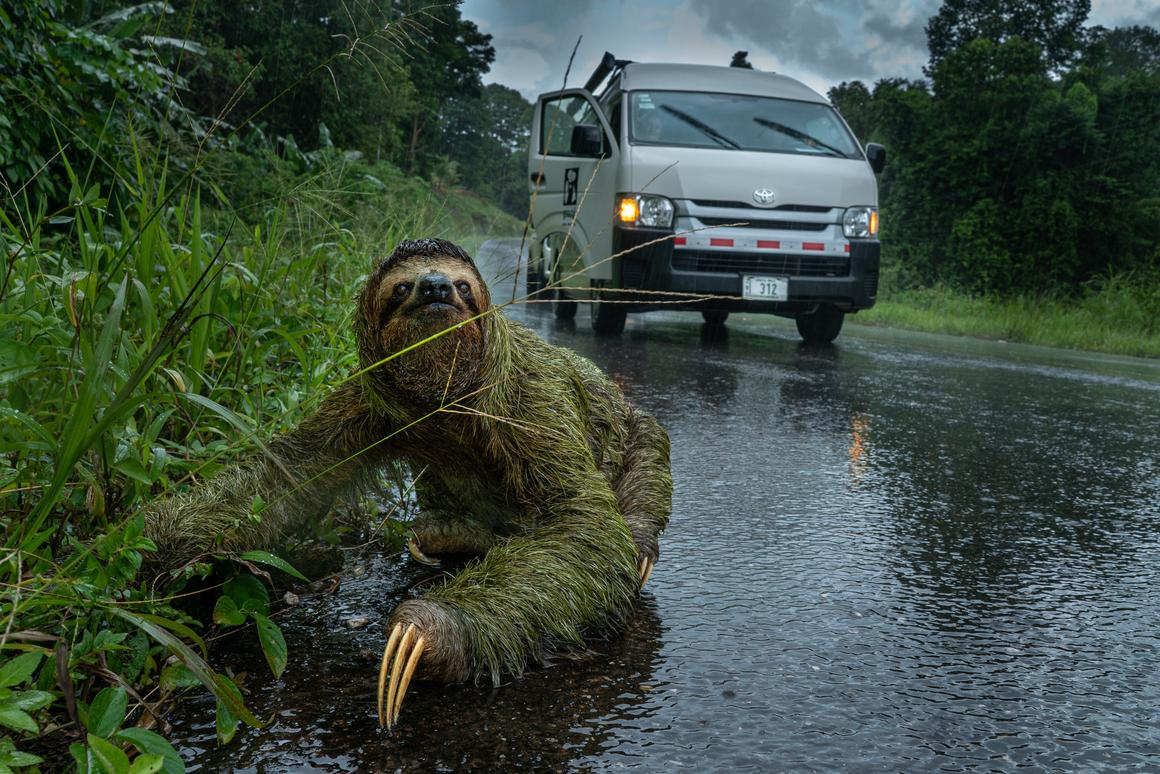 Andrew Whitworth took the People and Nature award for this remarkable shot of a female three-toed sloth crossing a road