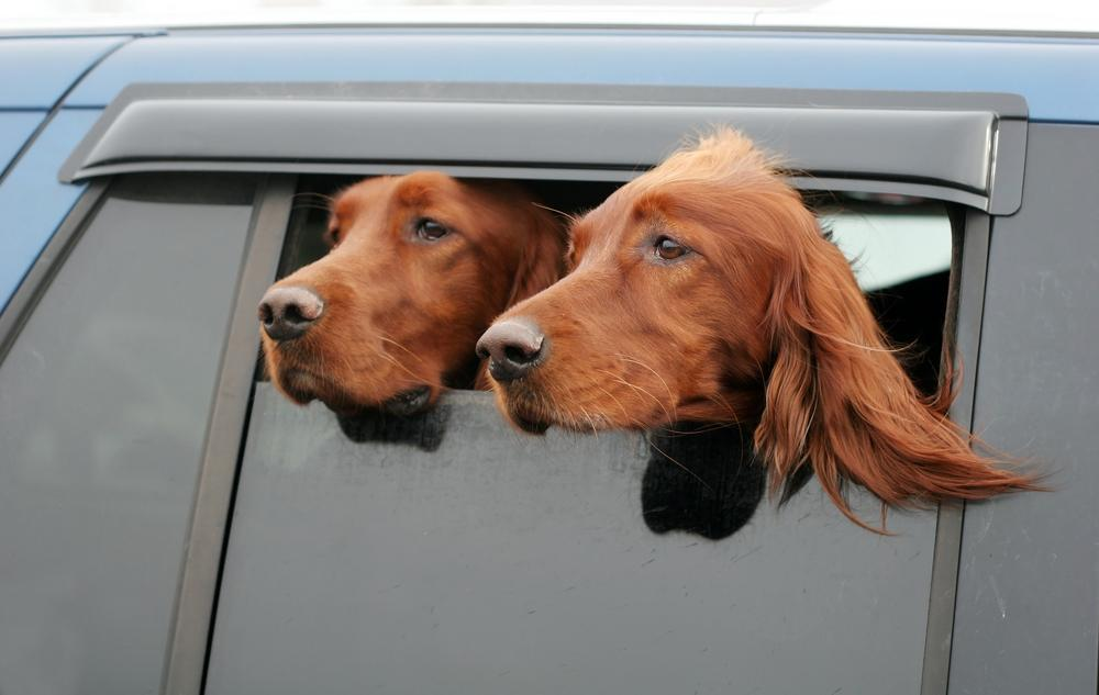 The Dog Caller Collar sends dogs owners an SMS if the temperature of a dog left in a car exceeds a safe level (Photo: Joy Brown/Shutterstock)