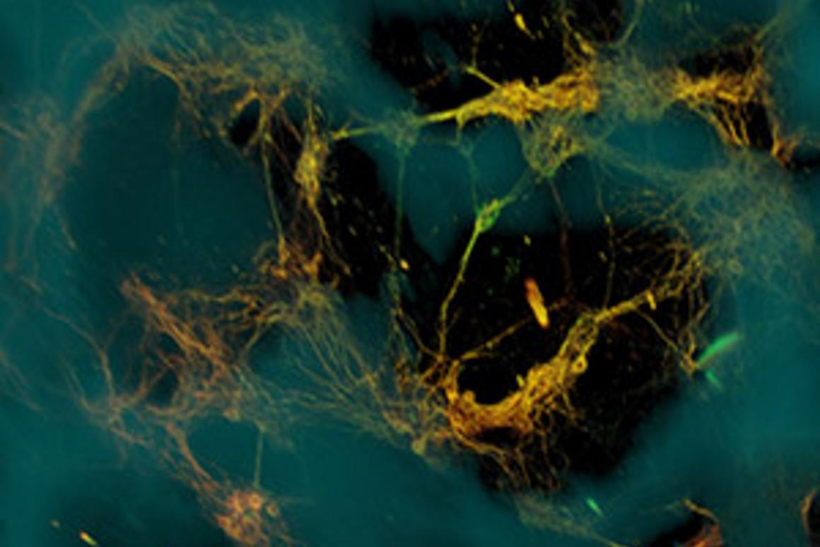 Confocal microscope image of the artificial neural tissue developed at Tufts University