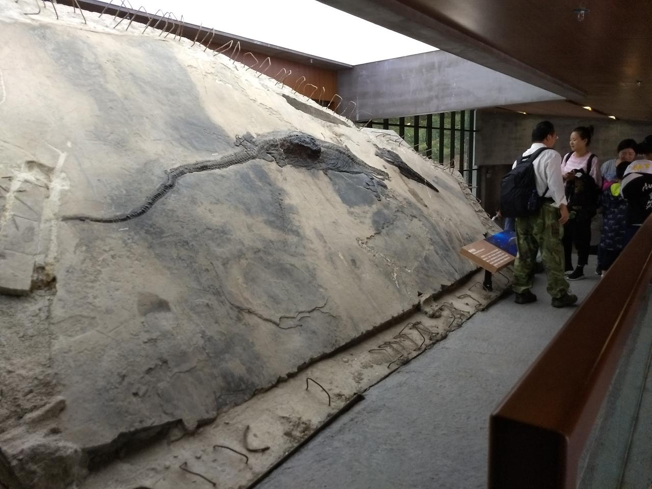 The ichthyosaur on display, with the stomach contents seen as a block extending from the body