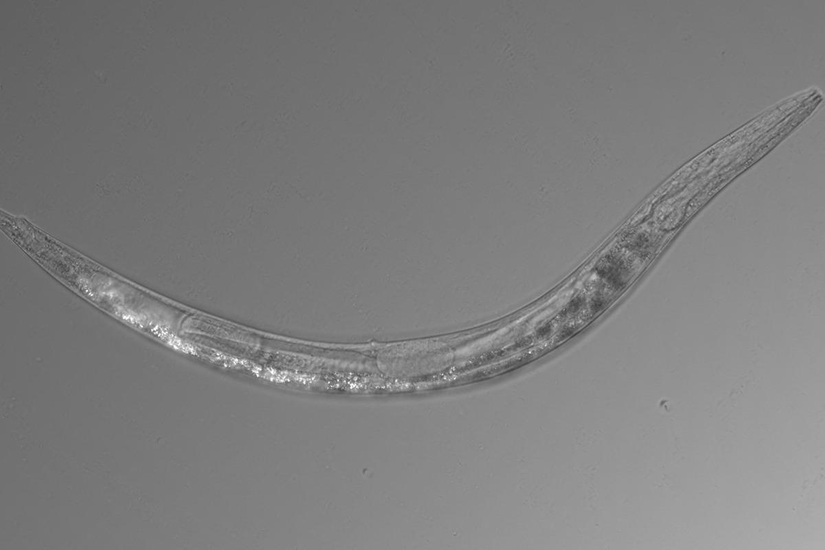 Auanema sp. is a microscopic worm species found to have three sexes: male, female and hermaphrodites
