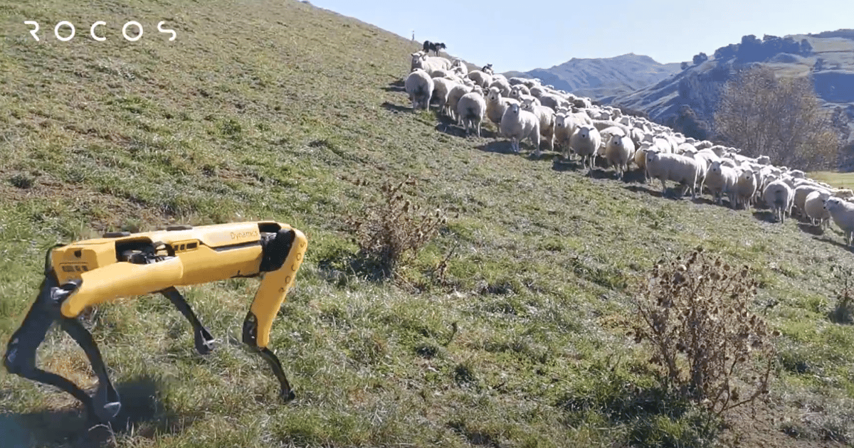 Remotely operated Spot robot herds sheep in New Zealand