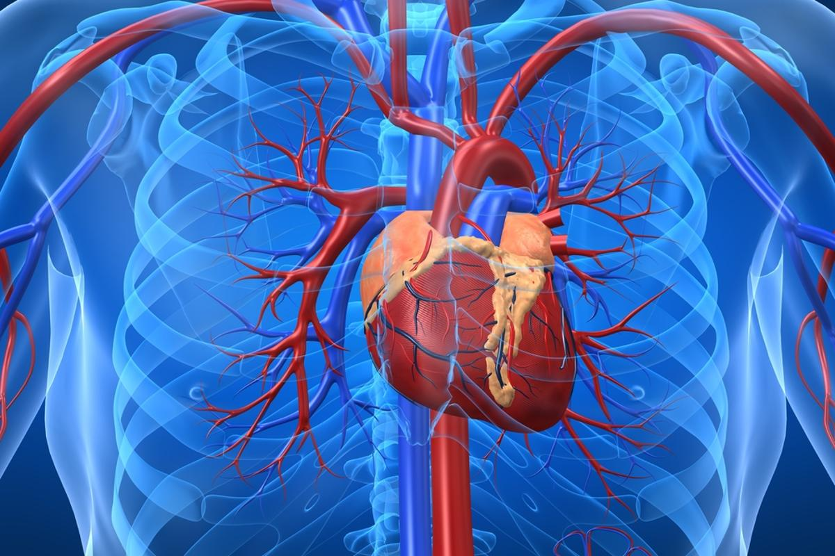 A new understanding of the immune system may be paving the way for the development of a vaccine for heart disease (Image: Shutterstock)