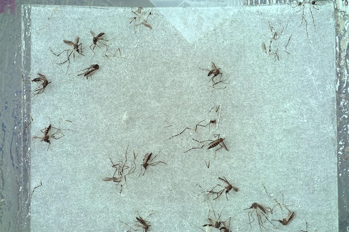 Mosquitoes are captured on sticky paper, and then imaged by an onboard camera