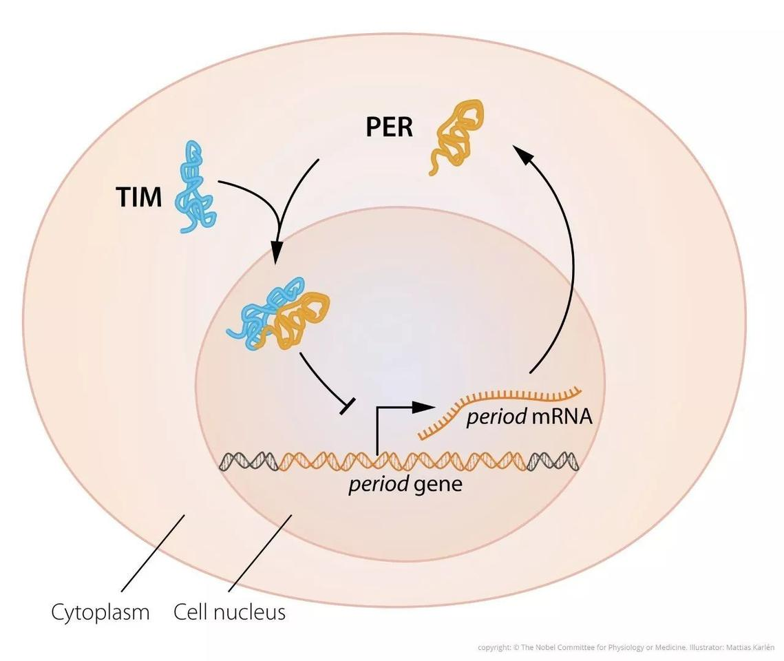 Later work by the Nobel laureates uncovered a second clock gene that encodes for a protein called TIM, which binds to PER and allows the duo to enter the cell nucleus