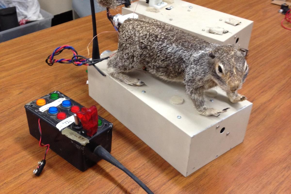 One of the robosquirrels used in the rattlesnake study (Photo: Andy Fell, UC Davis)