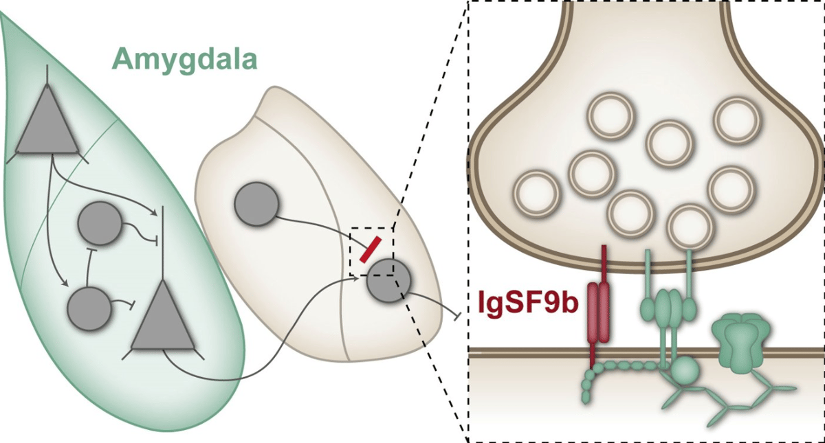 """The protein IgSF9b builds """"bridges"""" across inhibitory synapses, which can cancel out the important inhibitory effect and increaseanxiety"""