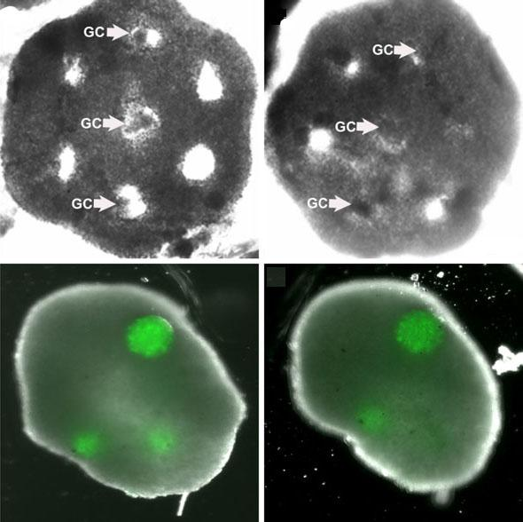 An engineered honeycomb of cultured theca cells (top row) envelopes spheres of granulosa cells (GC). The bottom row shows the tissue after 48 hours (left) and after five days (Image: Carson Lab / Brown University)