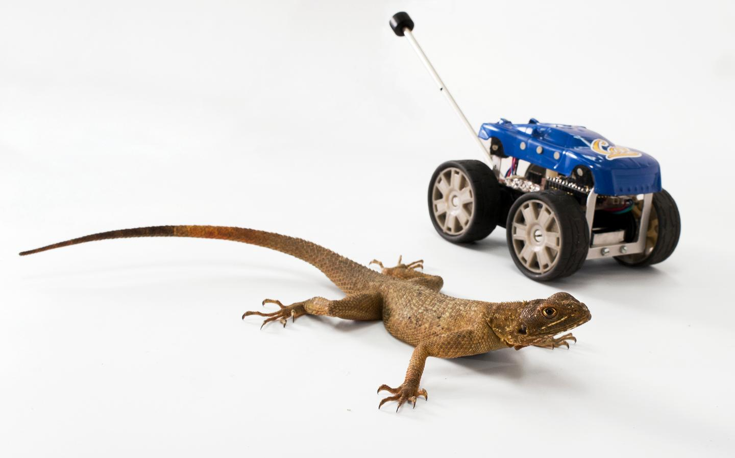 An African Agama lizard, and Tailbot