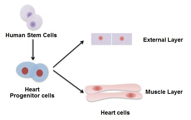 Researchers at Pennsylvania State University claim to have used modified human stem cells to regenerate the cells that cover the external surface of a human heart, with the hope to eventually create entire heart muscles in this way
