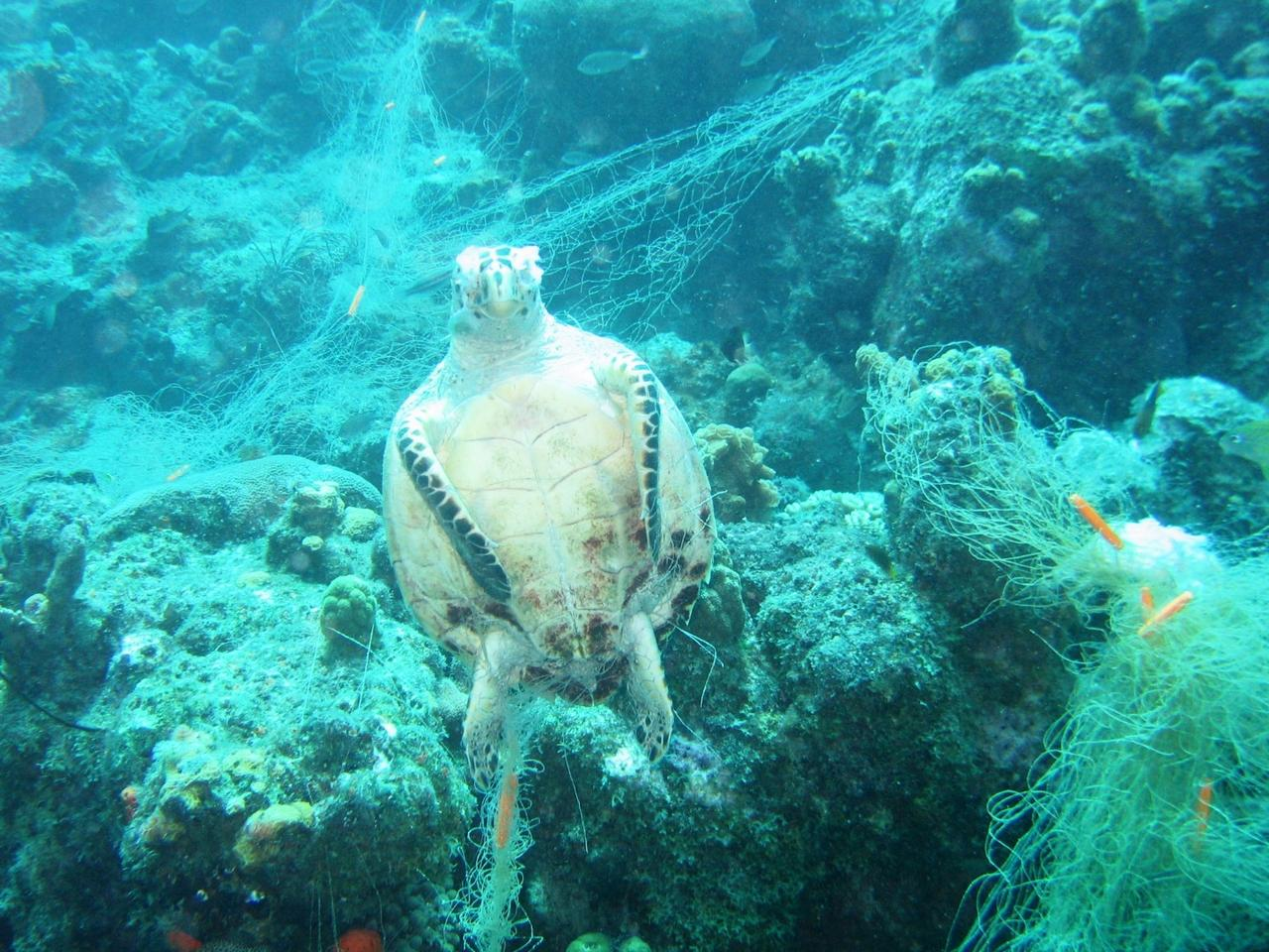 A sea turtle caught in a ghost net outside Curacao