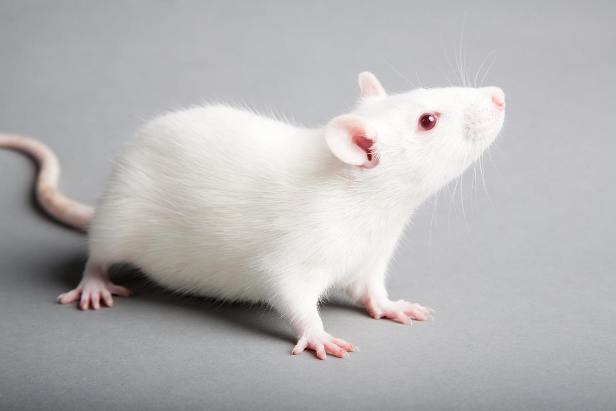 """Stem cells in rats and mice have been mobilized to form new muscle tissue """"in situ"""" (i.e., in the body), possibly paving the way for similar treatment in people with damaged muscle regions (Photo: Shutterstock)"""
