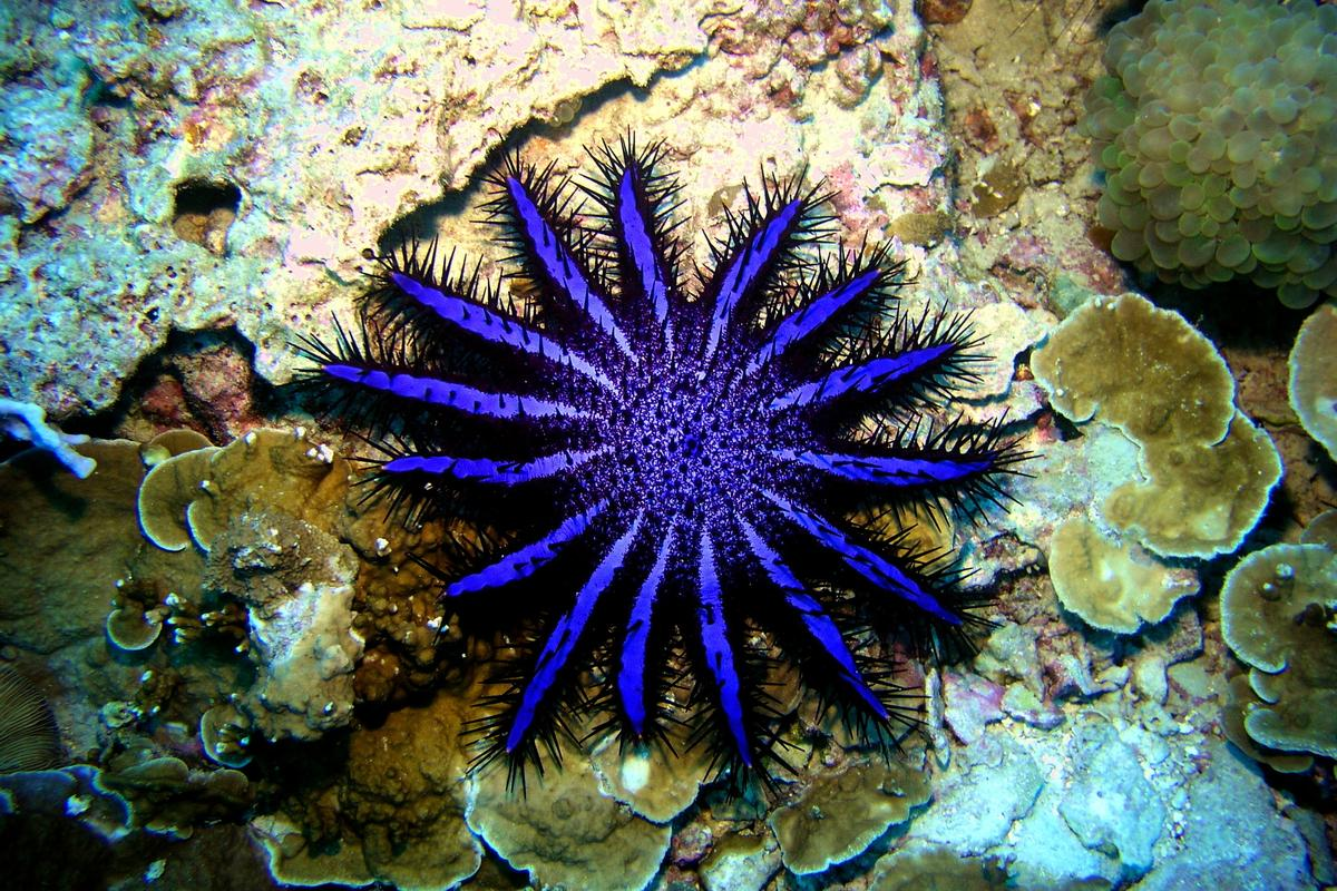 Like other organisms, the crown-of-thorns starfish passes its DNA into the surrounding environment