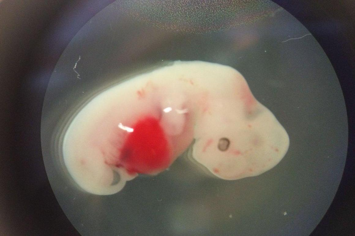 Scientists at the Salk Institute have successfully created a human-pig chimera for the first time