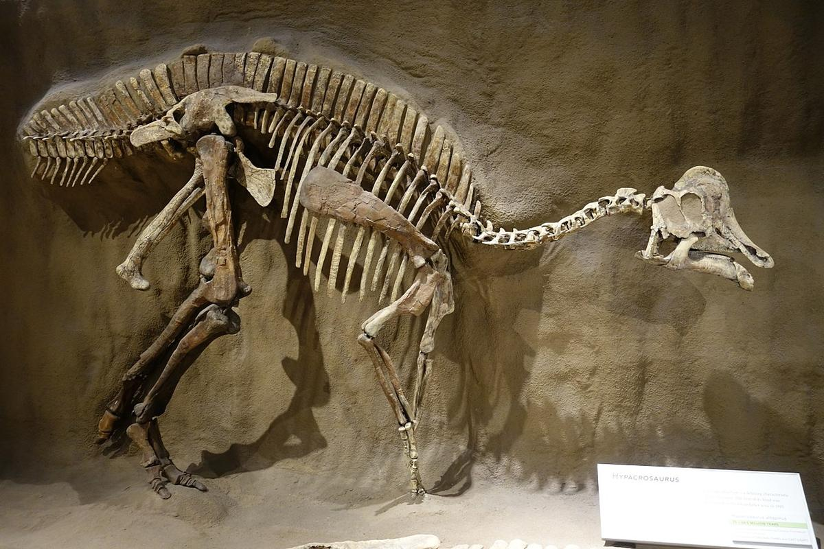 A fossil skeleton of Hypacrosaurus, on display in Royal Tyrrell Museum, Alberta.