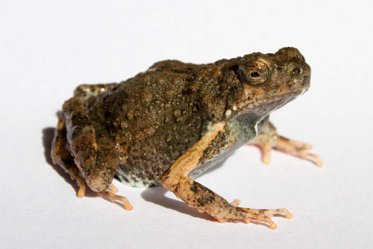 The Tungara frog, aka Engystomops pustulosus