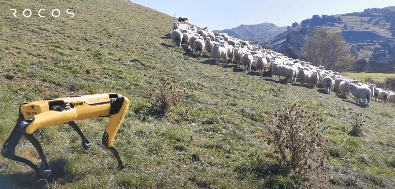 Testing the new cloud-based software, Spot was monitored herding sheep in New Zealand by a team based in the United States