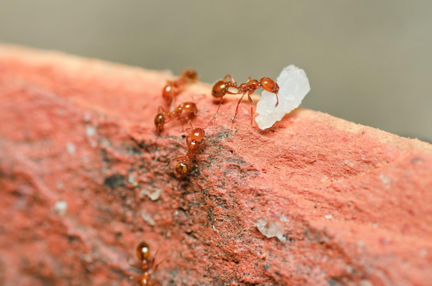 Researchers have discovered a toxic compound in fire ant venom that could inspire new treatments for psoriasis
