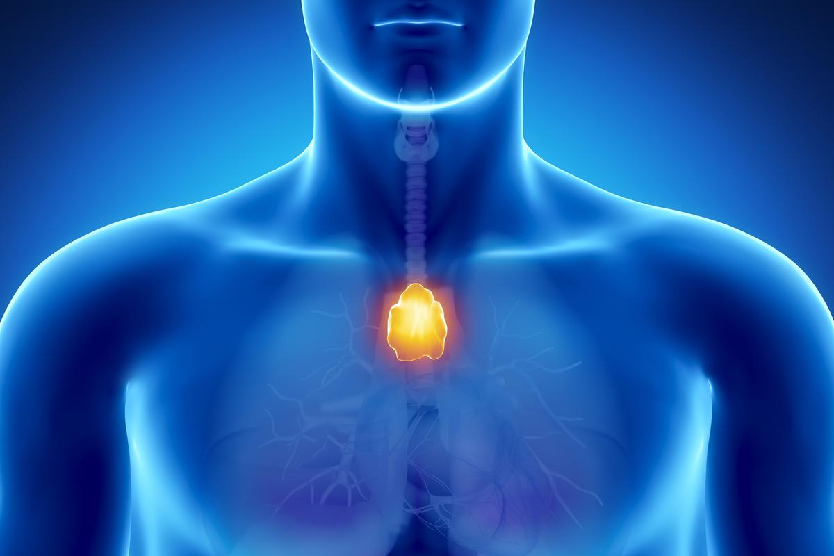 Researchers have regenerated the thymus in mice, potentially paving the way for regenerating human body parts (Image: Shutterstock)