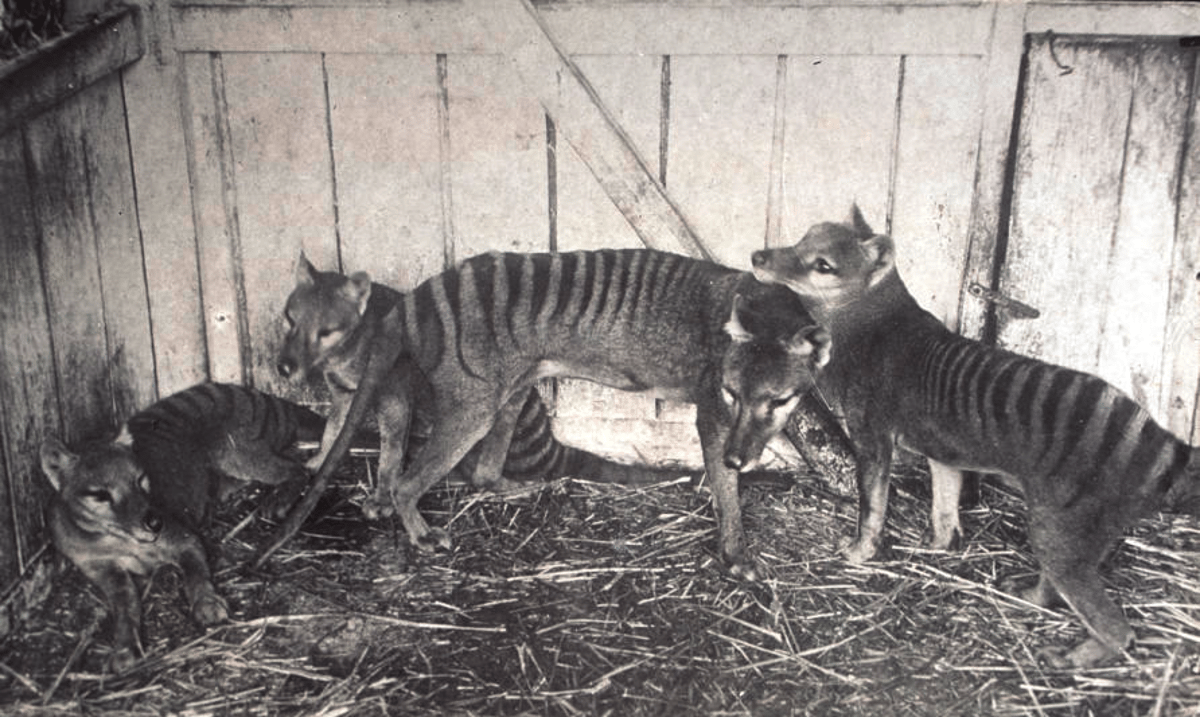 Researchers have produced the most completegenome sequence of the Tasmanian tiger, or thylacine, whichwent extinct in 1936