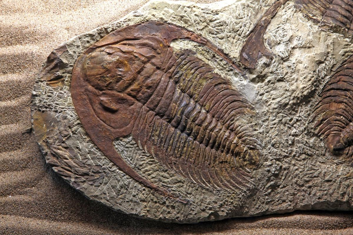The trilobite is one of the most famous creatures to arise during the Cambrian Explosion –and a new study might explain how it came to be