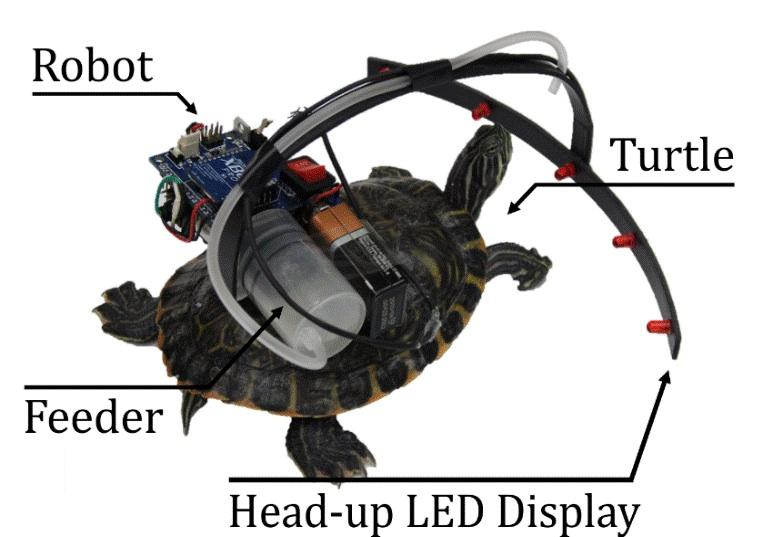 A diagram of the parasitic robot system, which can steer a turtle with flashes of light and snacks