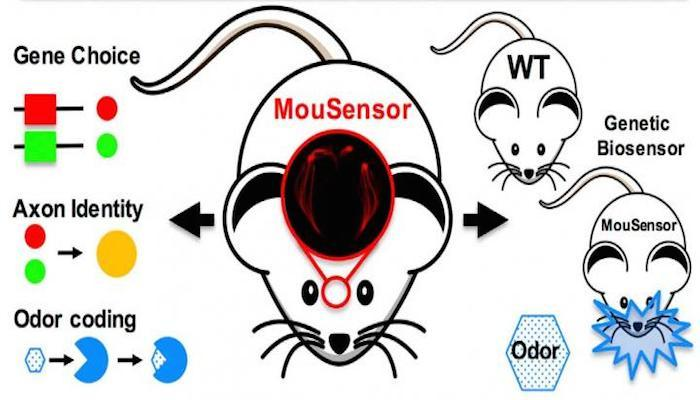 "Researchers have engineered ""super-sniffer"" mice, increasing their ability to detect specific odors, with potential security and health applications"
