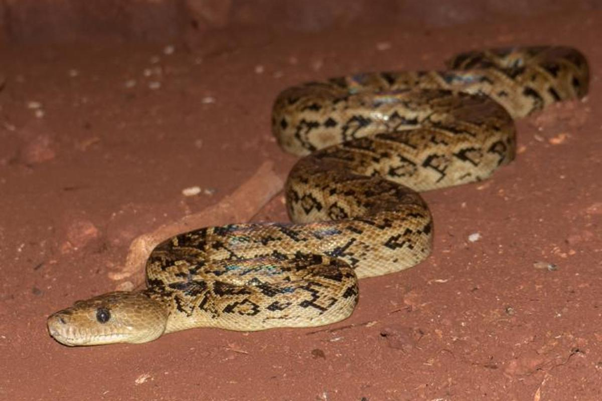 Once thought to be solitary hunters, the Cuban boa has found power in numbers