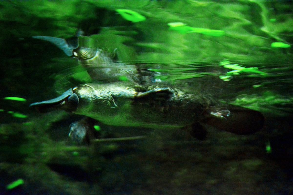 Australian researchers have found a potential treatment for diabetes in the gut and venom of the platypus