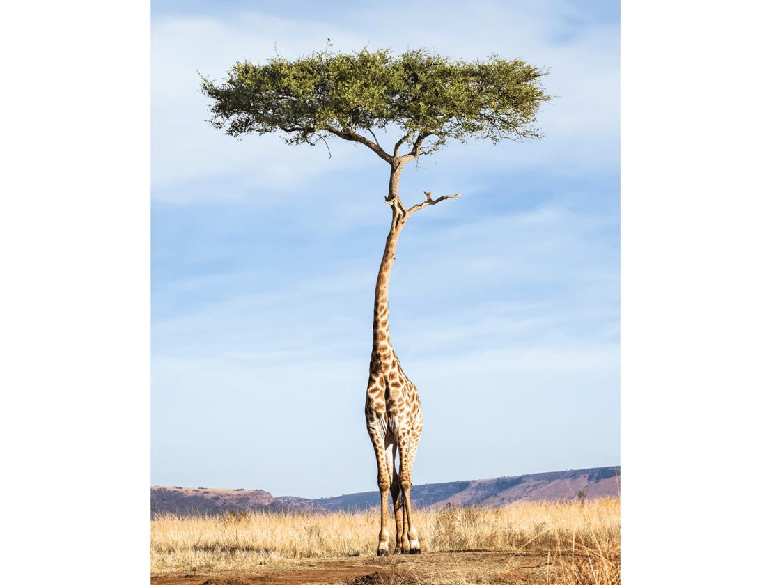Tree Giraffe (Credit: Justin Peters CC BY-NC-ND 4.0)