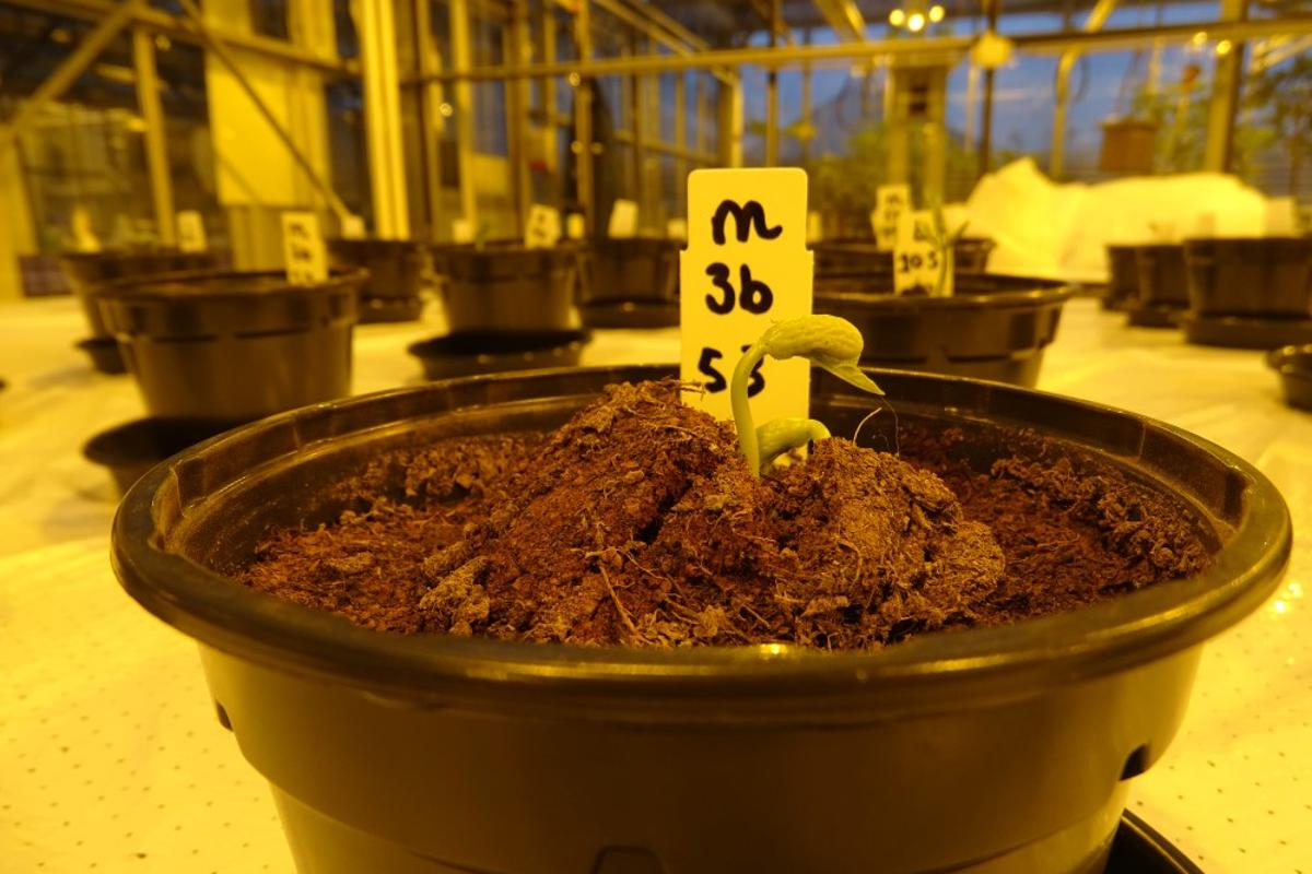 Bean plants grown without the urine-based fertilizer grew no taller than 25 cm (9.8 in)
