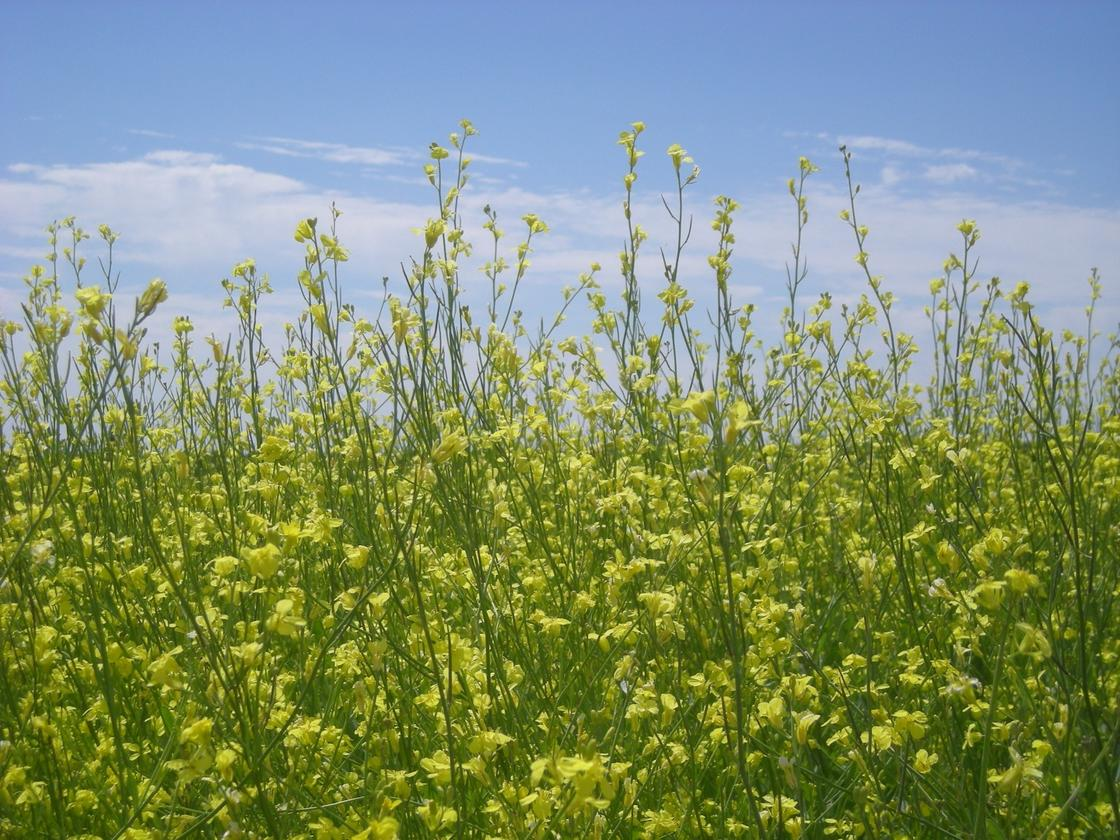 One hectare (2.5 acres) of Carinata seed yields 2,000 litres (528 gallons) of oil, which produces 400 litres (106 gallons) of biofuel
