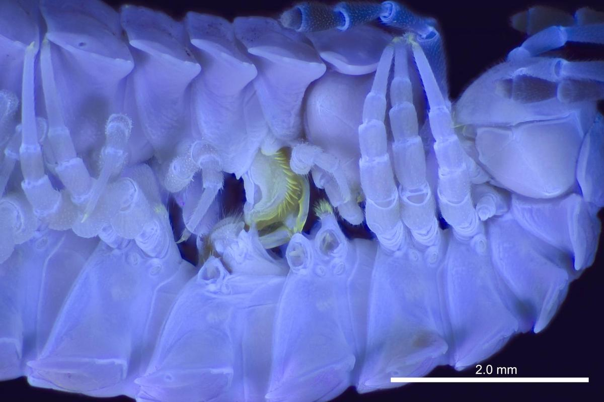 A mating pair of Pseudopolydesmus millipedes, viewed under UV light so that their anatomical structures are more visible