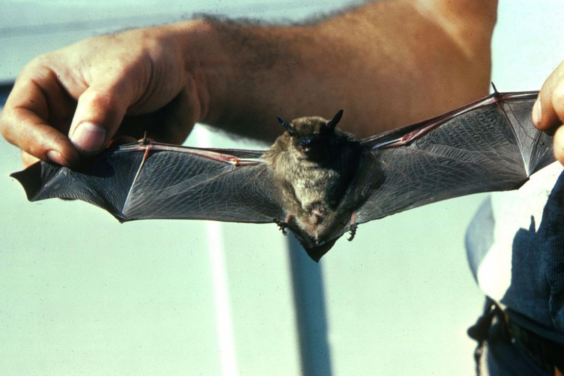 Touch receptors in bat wings may inspire similar sensors in aircraft wings