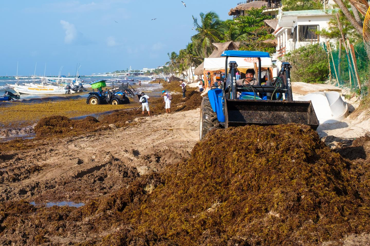 Workers remove Sargassum seaweed from the beach in Playa del Carmen, Mexico