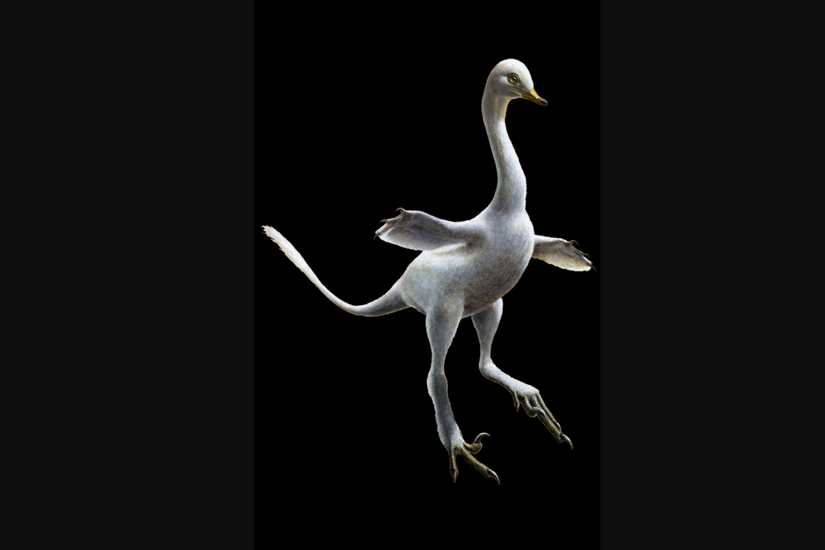 Halszkaraptor is a bizarre new species of dinosaur, blending together a swan, a penguin, a crocodile and a Velociraptor