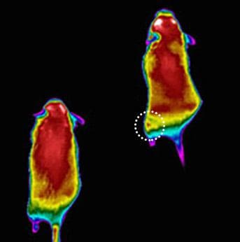 The injection given to the mouse's thigh muscles, indicated by the spot, caused the muscles to burn more calories (Photo:Leonid Zingman, University of Iowa)