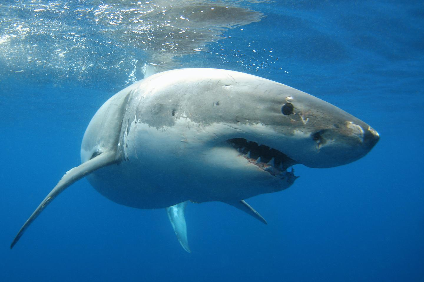 Great white sharks may get big when they grow up, but the babies are still relatively small and in need of protection from predators