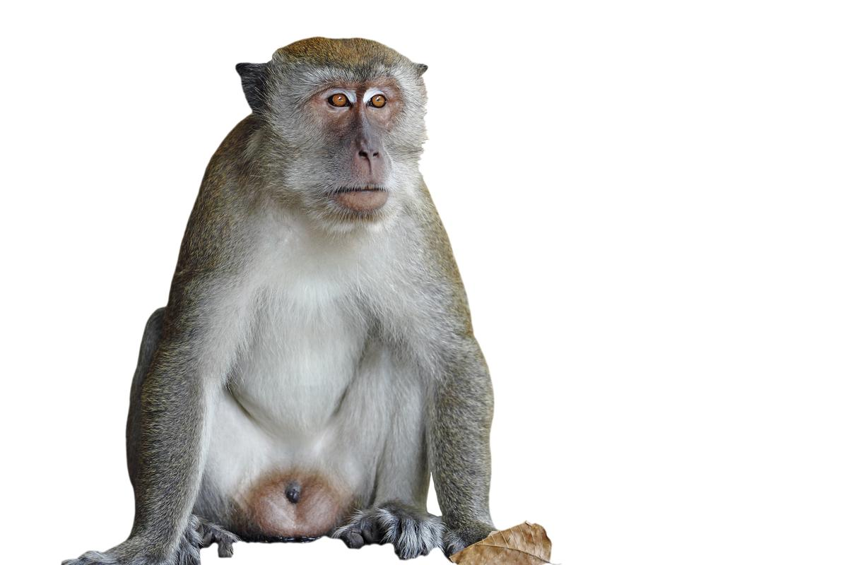 A neural prosthesis has been shown to restore the decision-making process to Rhesus monkeys (Photo: Shutterstock)