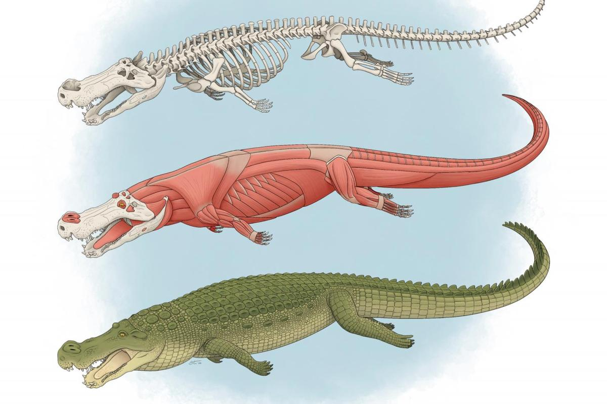 Deinosuchus lived 75 to 82 million years ago, and got up to 33 feet long