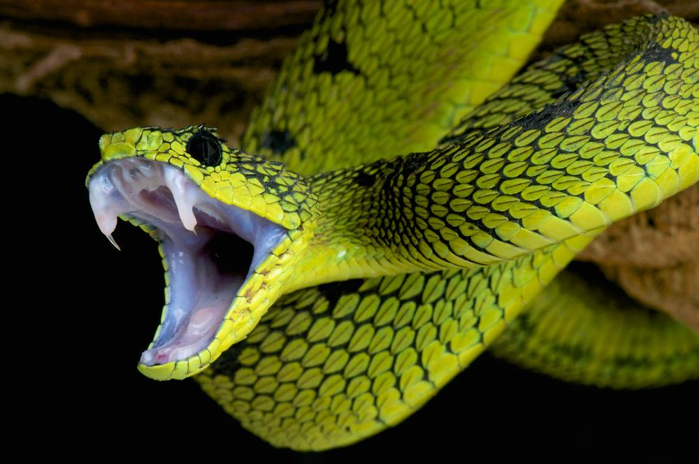 If this snake bit you, would you know that it was a great lakes bush viper? (Photo: Shutterstock)