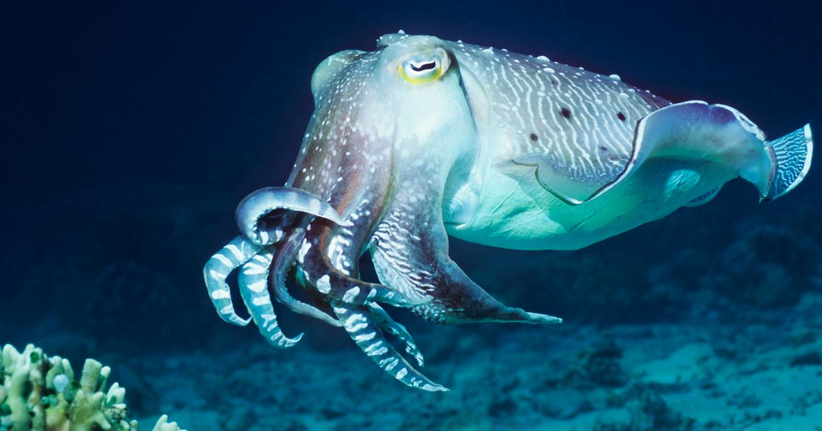 Cuttlefish go light on lunch when there's shrimp for dinner