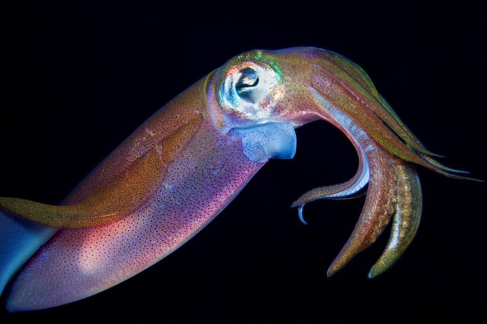 Squids change color by contracting pigment-filled cells known as chromatophores – the Rice display instead uses aluminum nanorods (Photo: Shutterstock)