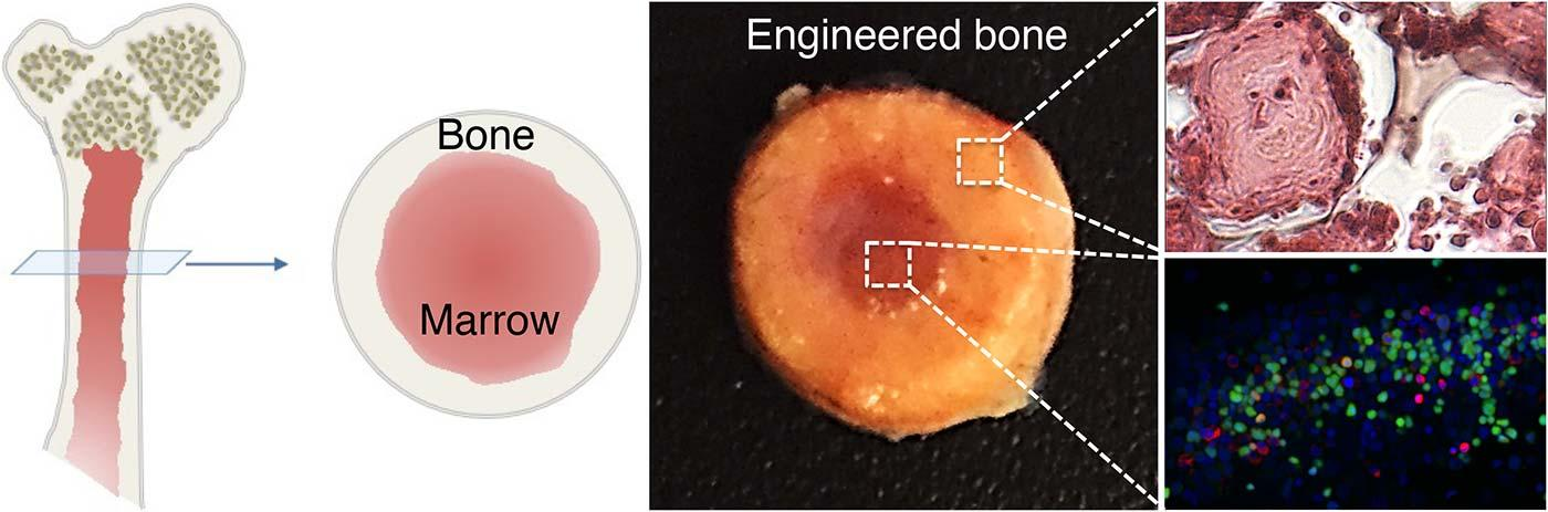 Left: Cartoon illustration of long bone structure; center: Image of engineered bone with marrow cavity; right: High magnification images of bone tissue (top) and marrow cells (bottom)