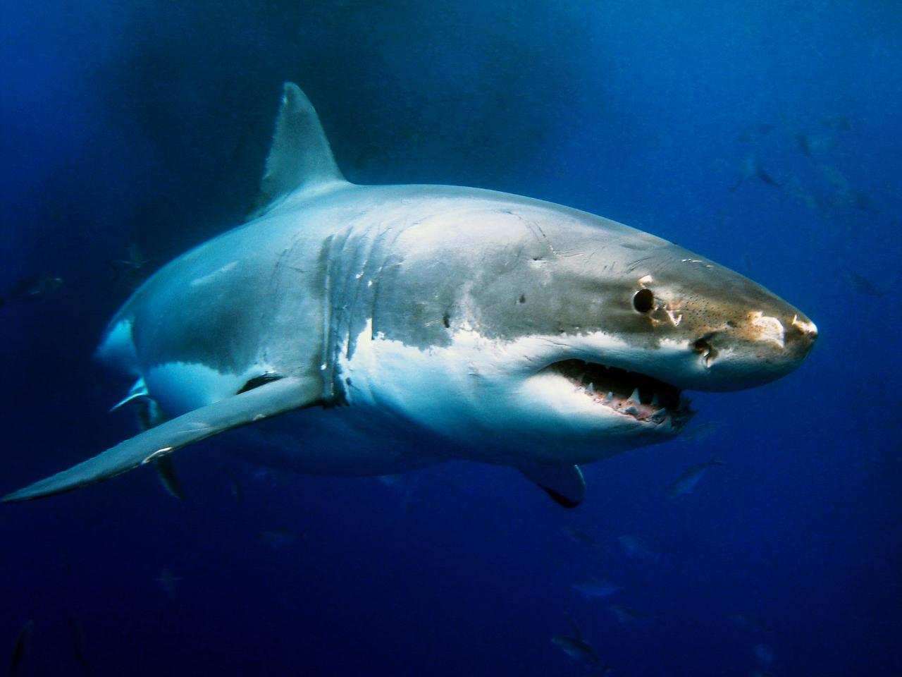 The genome of the great white shark has been sequenced