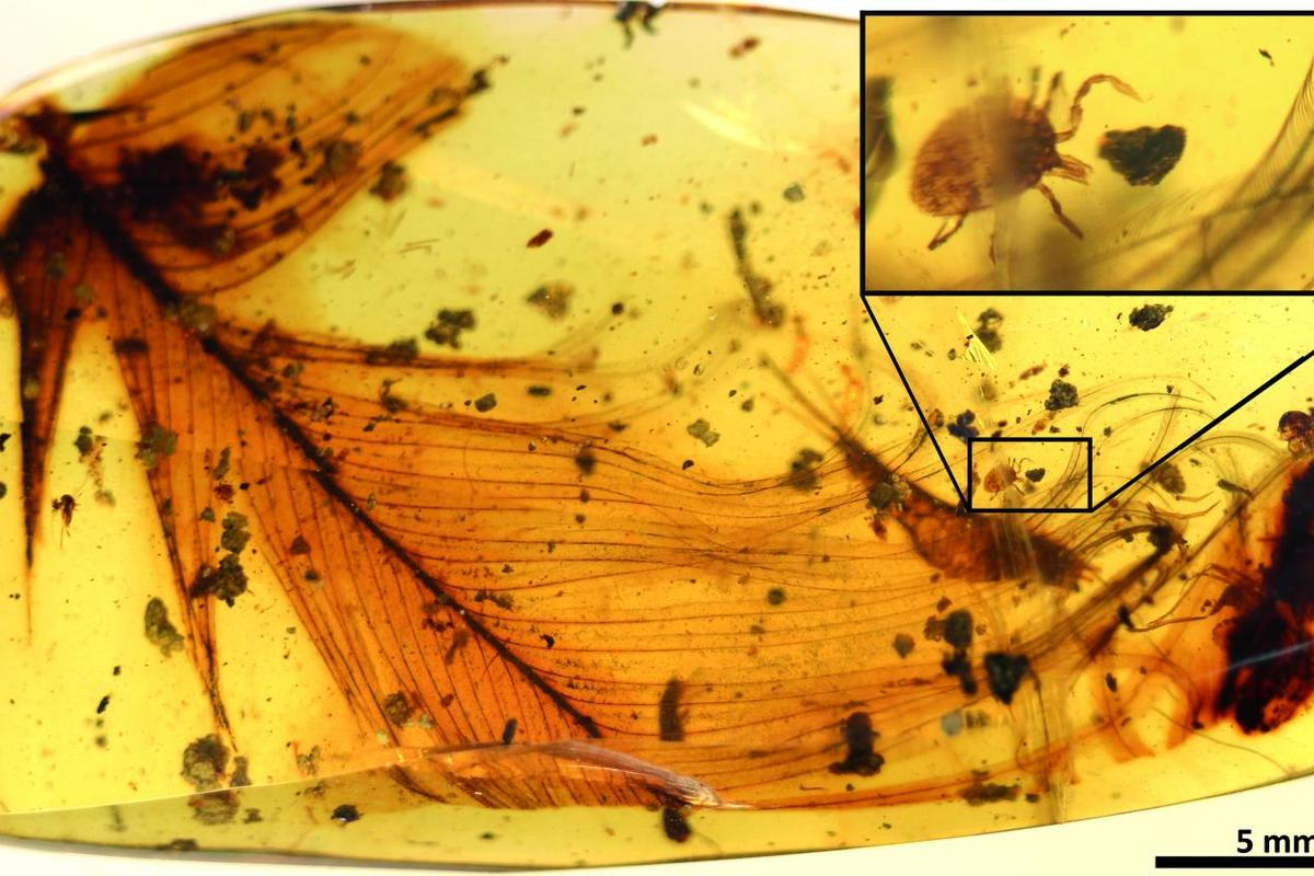 A hard tick clutches at a dinosaur feather in a 99-million-year-old piece of fossilized amber