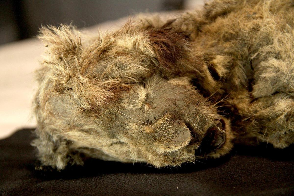 Sparta, the cave lion cub, was found in the Siberian permafrost and dates back around 28,000 years
