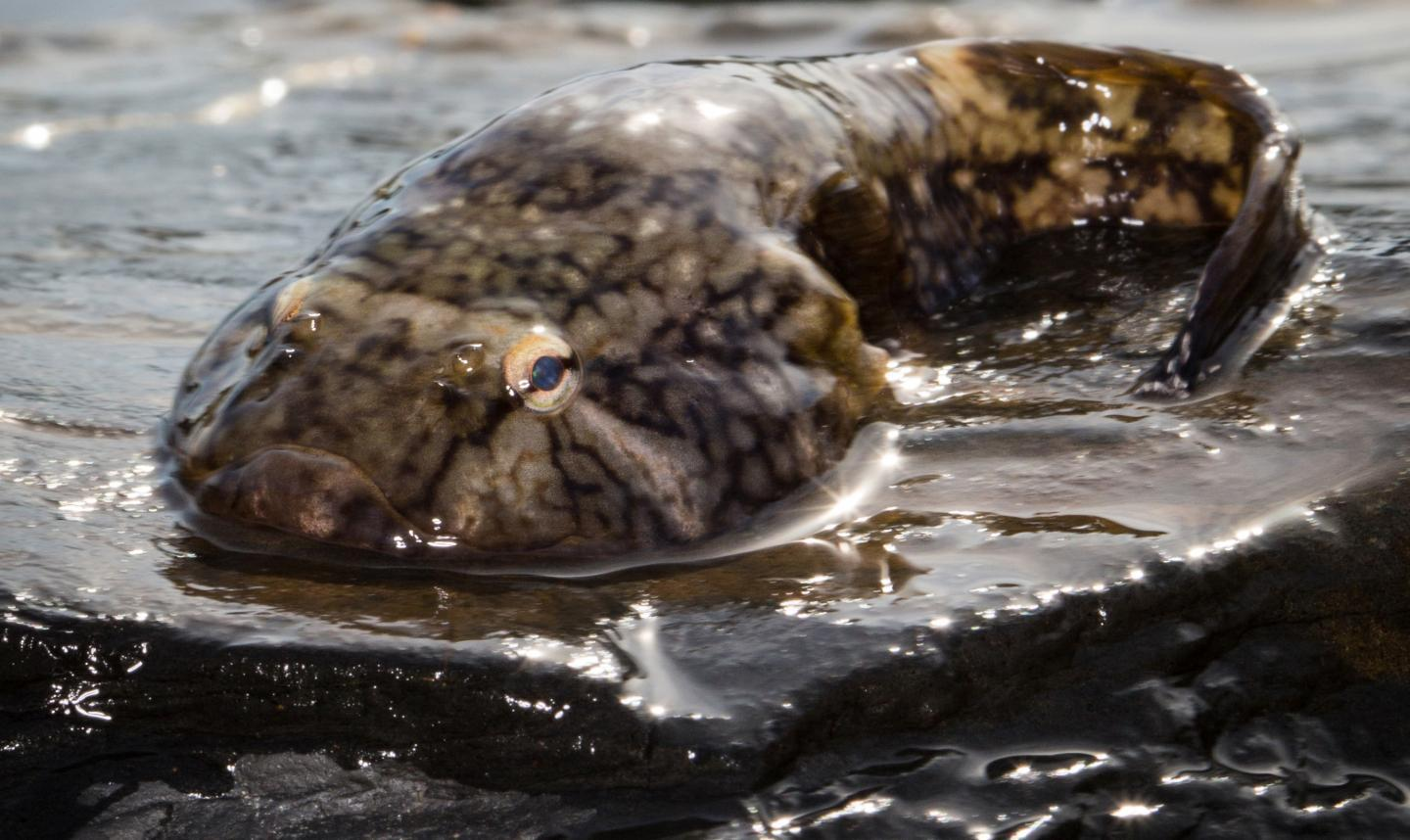 The Northern clingfish can support up to 230 times its own body weight when lifted